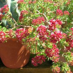 Sedum rubrotinctum (Jelly Bean Plant) | World of Succulents