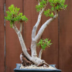 Crassula sarcocaulis (Bonsai Crassula)