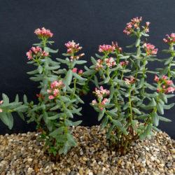 Crassula sarcocaulis X4 Cuttings Plant Hardy Succulent Outdoor Bonsai Caudex