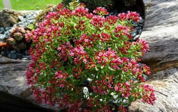 Crassula sarcocaulis (Bonsai Crassula)