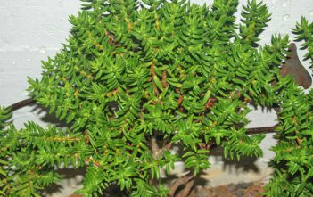Crassula tetragona - Miniature Pine Tree