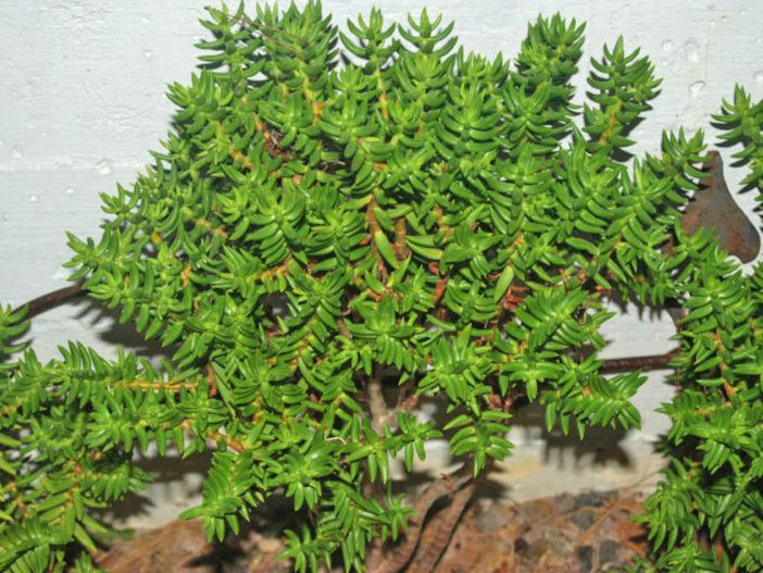 Crassula tetragona (Miniature Pine Tree)