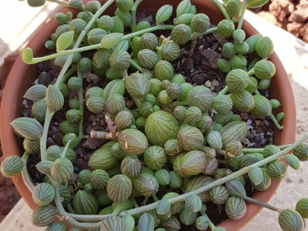 Curio Herreanus String Of Watermelons World Of Succulents