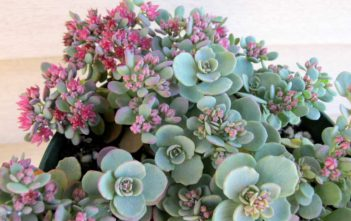Hylotelephium cauticola (Cliff Stonecrop) aka Sedum cauticola