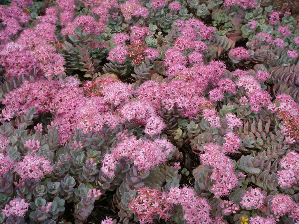Hylotelephium cauticola (Cliff Stonecrop) aka Sedum cauticola