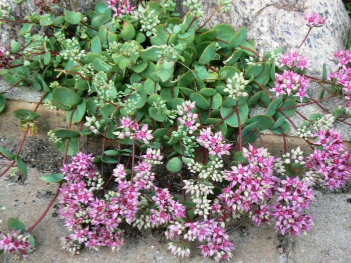Hylotelephium ewersii (Sedum ewersii) - Pink Mongolian Stonecrop