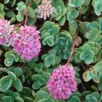 Hylotelephium ewersii (Pink Mongolian Stonecrop) aka Sedum ewersii