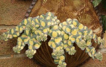 Hylotelephium sieboldii (Sedum sieboldii) 'Mediovariegatum' - Variegated October Daphne