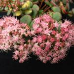 Hylotelephium sieboldii 'Mediovariegatum' (Variegated October Daphne) aka Sedum sieboldii 'Mediovariegatum'