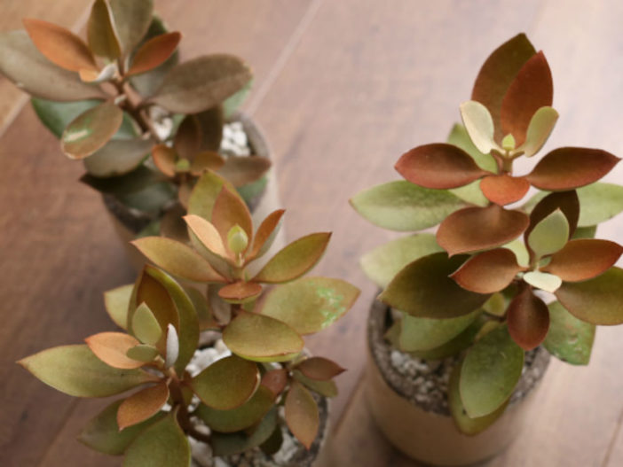 Kalanchoe orgyalis (Copper Spoons)