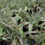 Manfreda maculosa - Texas Tuberose