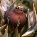 Orbea umbracula