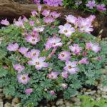 Oxalis adenophylla - Silver Shamrock