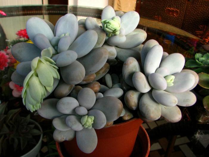 Pachyphytum oviferum (Moonstones)