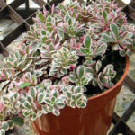 Phedimus spurius 'Tricolor', formerly known as Sedum spurium 'Tricolor'