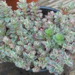 Phedimus spurius (Sedum spurium) 'Tricolor'