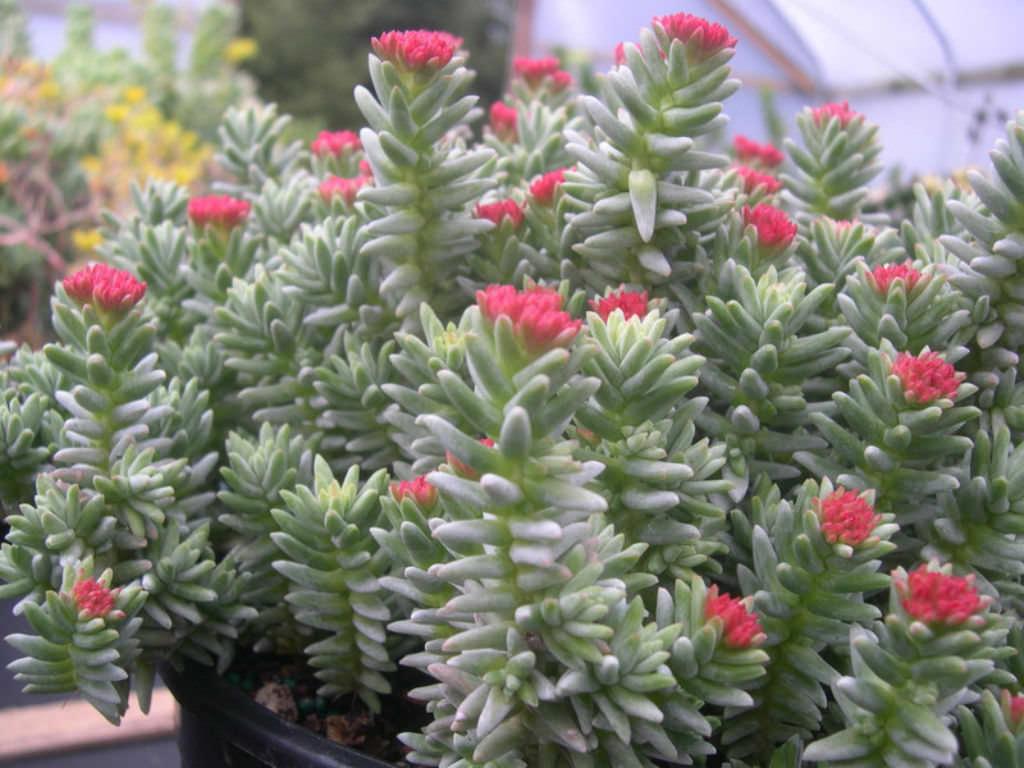 Sedum booleanum world of succulents for Cactus de exterior