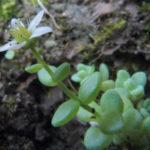 Sedum dasyphyllum (Corsican Stonecrop)