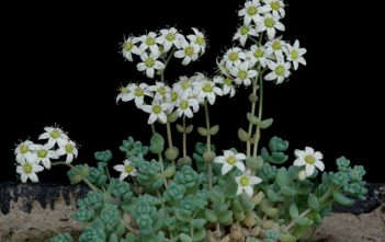Sedum dasyphyllum - Corsican Stonecrop