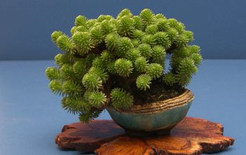 Sedum multiceps - Miniature Joshua Tree