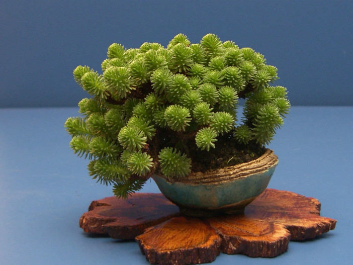 Sedum multiceps (Miniature Joshua Tree)