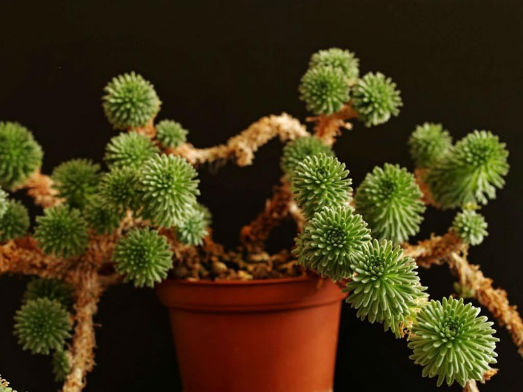 Sedum multiceps - Miniature Joshua Tree | World of Succulents