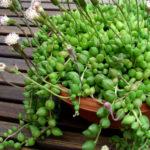 Curio herreanus (String of Watermelons) aka Senecio herreanus or Senecio herreianus