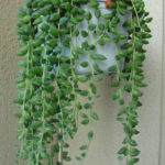 Curio herreanus (String of Beads) aka Senecio herreanus or Senecio herreianus