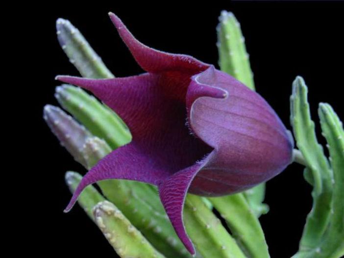 Stapelia leendertziae (Black Bells)