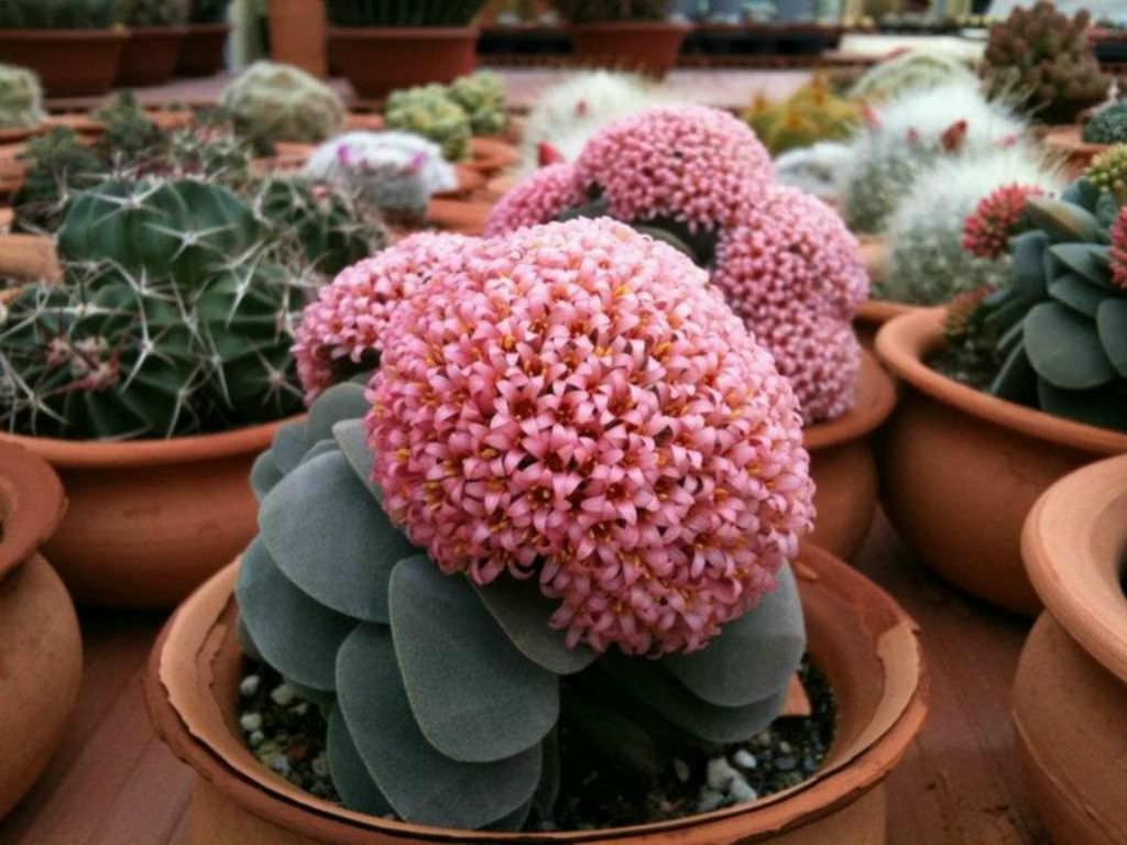 Succulent Plants In Bloom