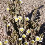 Tephrocactus articulatus var. diadematus (Spruce Cone Cholla)
