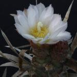 Tephrocactus articulatus var. papyracanthus (Paper Spine Cactus)