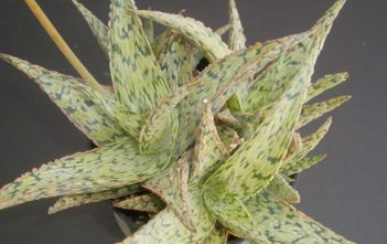 Aloe 'Pink Blush' - Pink Blush Aloe