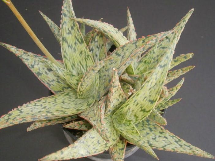 Aloe 'Pink Blush' (Pink Blush Aloe)