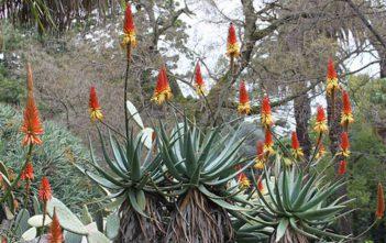 Aloe africana - African Aloe
