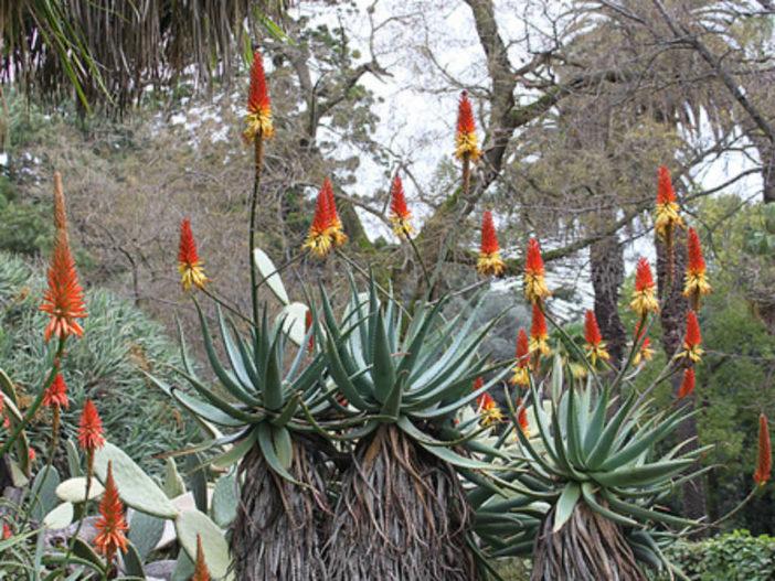 Aloe africana (African Aloe)