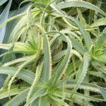 Aloe arborescens 'Variegata' (Variegated Candelabra Aloe)