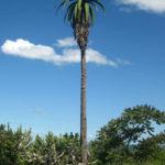 Aloe excelsa (Zimbabwe Aloe)
