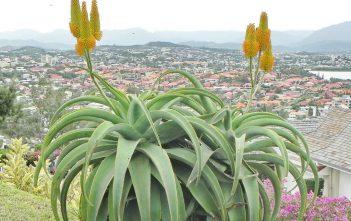 Aloe thraskii (Dune Aloe)