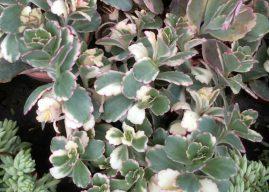 Bryophyllum fedtschenkoi (Kalanchoe fedtschenkoi) 'Variegata' – Variegated Lavender Scallops