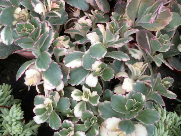 Bryophyllum fedtschenkoi 'Variegata' (Aurora Borealis) aka Kalanchoe fedtschenkoi 'Variegata'