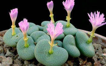 Conophytum wettsteinii - Cone Plants
