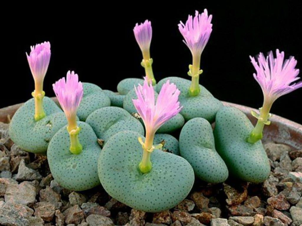 Conophytum wettsteinii (Cone Plants)   World of Succulents
