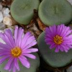 Conophytum wettsteinii (Cone Plants)