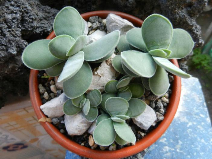Crassula cotyledonis