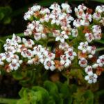 Crassula dejecta (Doily Crassula) aka Crassula undulata