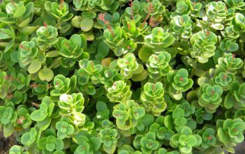 Crassula multicava (Fairy Crassula)
