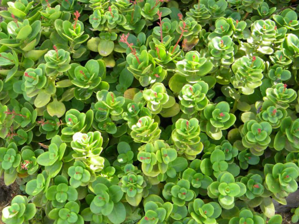 Crassula Multicava Fairy Crassula World Of Succulents