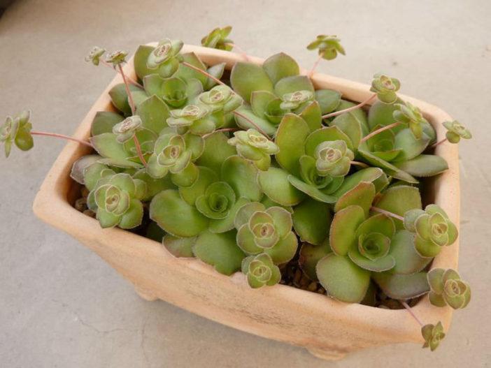 Crassula orbicularis