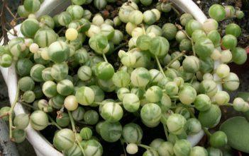Curio rowleyanus (Senecio rowleyanus) 'Variegata'